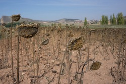 Field of drying sunflowers in Spain