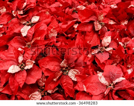 Field of fake red poinsettias