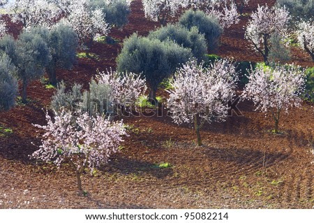 field of flowering almond and olive trees
