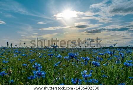 field of flowering cornflowers, blue flowers of cornflowers on the background of the blue sky and the setting evening sun. Foto stock ©