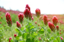Field of flowering crimson clovers (Trifolium incarnatum) close up. Spring season.