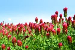 Field of flowering crimson clovers (Trifolium incarnatum) in spring rural landscape.