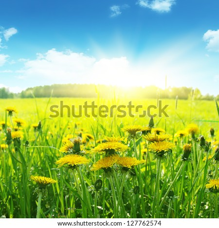 Field of flowering dandelions, blue sky and bright sun.