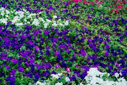 field of flowers of different shades