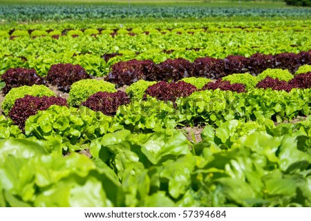 stock photo : field of fresh and tasty salad/lettuce plantation