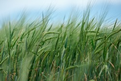 Field of fresh green barley cereals.Ears of green malting barley in the field