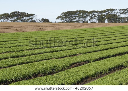 Field of freshly sown vegetables