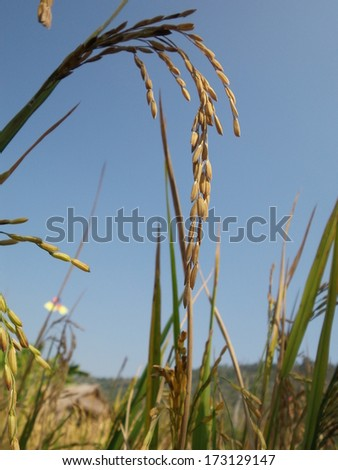 field of gold rice #173129147