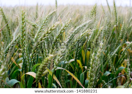 Field of golden rye classes closeup - stock photo