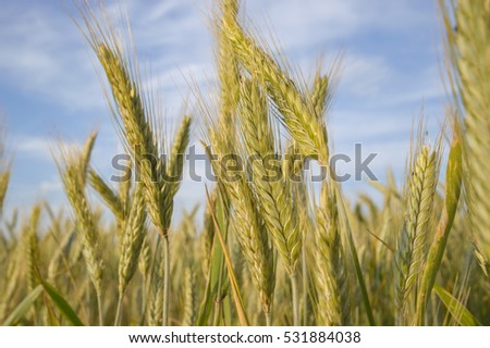 field of golden wheat and blue sky, agricultural field #531884038