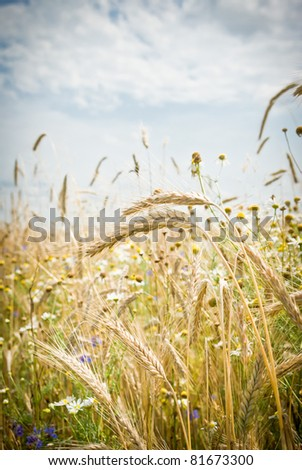 field of golden wheat and blue sky, agricultural field