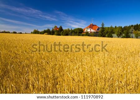 Field of golden wheat under blue sky