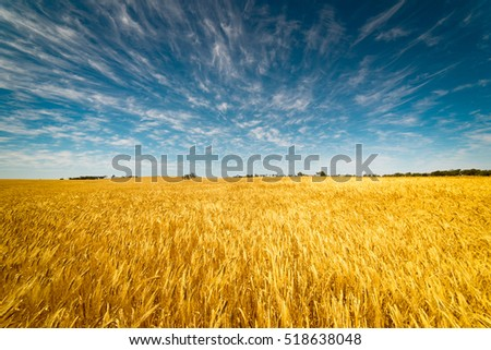 Field of Golden wheat under the blue sky and clouds #518638048