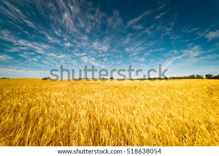 Field of Golden wheat under the blue sky and clouds #518638054