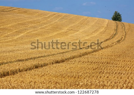 Field of golden wheat with tractor tracks against a clear blue sky.