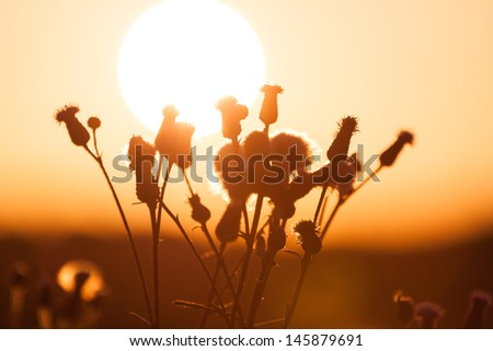 Field of grass during summer sunset - against sun