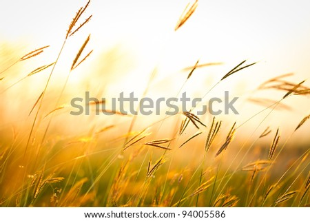 Field of grass during sunset #94005586