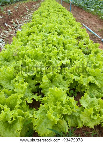 Field of green fresh lettuce growing at a farm