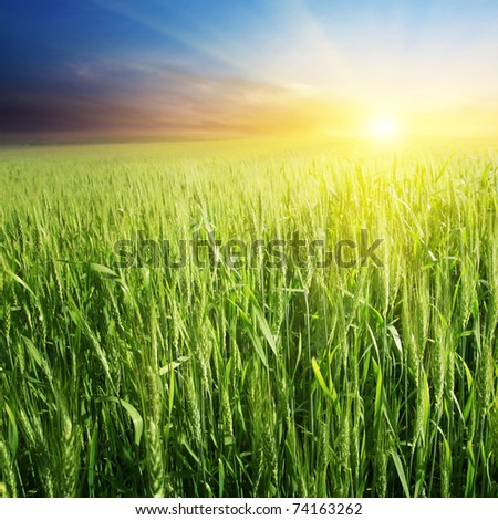 Field of green wheat and colorful sunset.