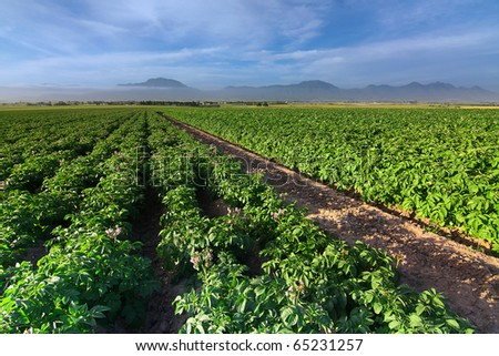 field of growing potato bushes