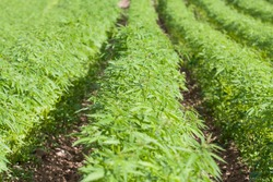 Field of hemp. Cannabis Sativa. Industrial kind (technical cannabis)