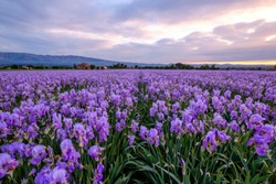 Field of Iris Pallida in Provence, France, sunrise. Mountain Sainte-Victoire in the background.