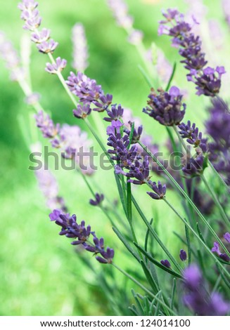 Field of lavender flower closeup on blurred background