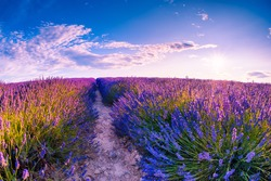 Field of lavender flowers at sunset in Provence, France. Beautiful summer landscape. Famous travel destination