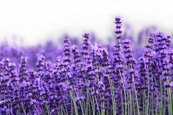 Field of Lavender, Lavandula angustifolia, Lavandula officinalis