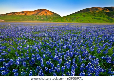 Field of lupines in the Spring