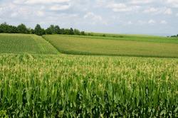 Field of maize cornfield maize field