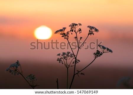 Field of milfoil grass during summer sunset