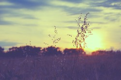 Field of oat during sunset.Oat stems on a background of setting sun and sunset colorful sky.Tranquil natural background.