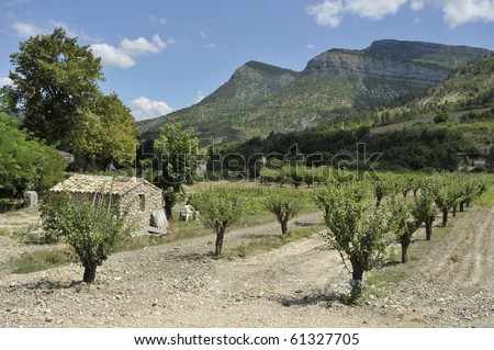 Field of olive trees with small house, Provence, France
