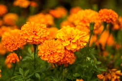 Field of orange marigold flowers.