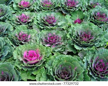 Field of ornamental kale close up #77329732