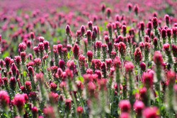 Field of pink crimson clover. Agriculture nitrogen-fixing cover crop.