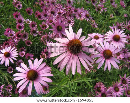Field of pink Echinacea flowers. Echinacea is considered to be a natural flu, cold and sore throat remedy.