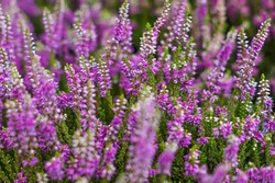 Field of pink heather