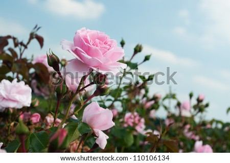 field of pink roses (Rosaceae) - stock photo