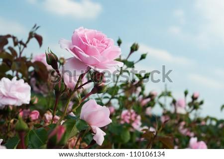 field of pink roses Rosaceae