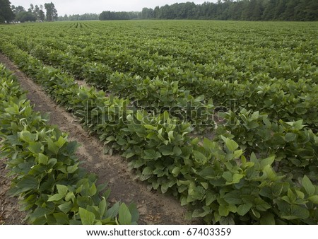 field of plants that are soy beans in North Carolina
