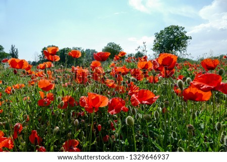 field of poppies, beautiful photo digital picture
