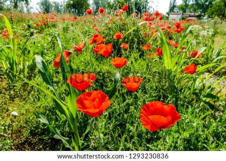 field of poppies, digital picture taken in Italy, Europe