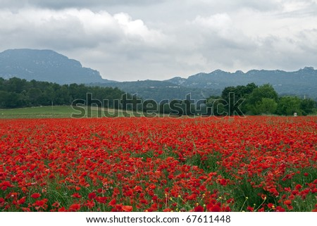 Field of poppies: field red with poppies in Southern France, near Pic Saint Loup mountain (North of Montpellier) on a cloudy (rainy) day.