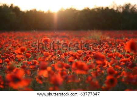 Field of poppies on a sunset