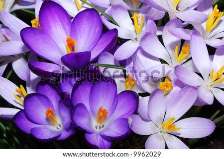 field of purple crocus flowers