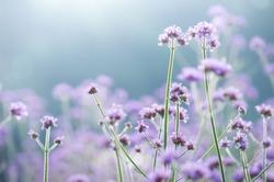 Field of purple flowers.