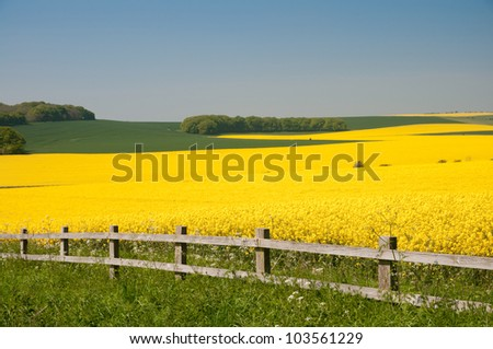 field of rapeseed - stock photo