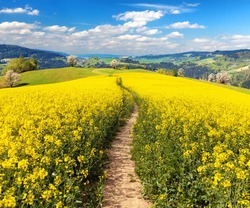 Field of rapeseed, canola or colza in Latin Brassica napus with rural road and beautiful cloud, rapeseed is plant for green energy and green industry, springtime golden flowering rapeseed field